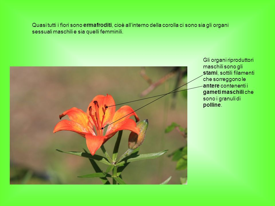 Quasi tutti i fiori sono ermafroditi, cioè all'interno della corolla ci sono sia gli organi sessuali maschili e sia quelli femminili.