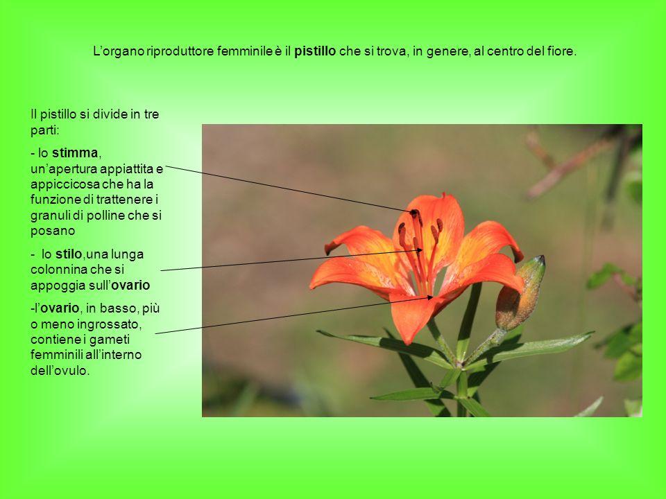 L'organo riproduttore femminile è il pistillo che si trova, in genere, al centro del fiore.