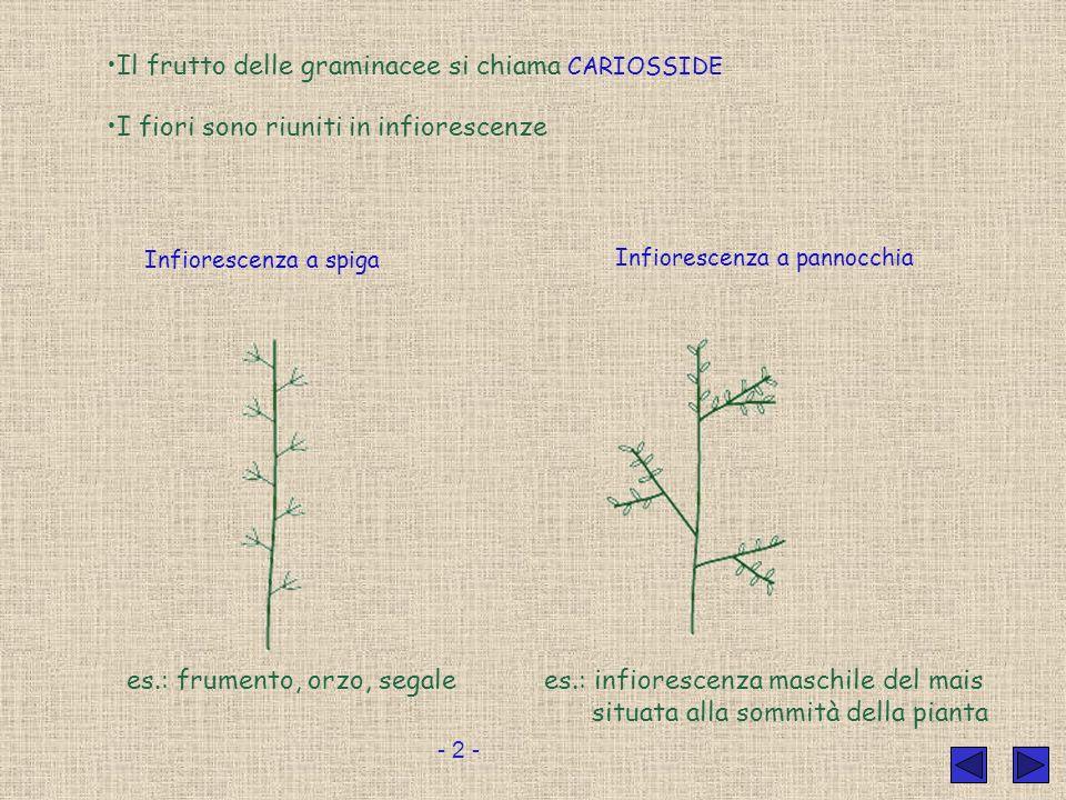 Il frutto delle graminacee si chiama CARIOSSIDE
