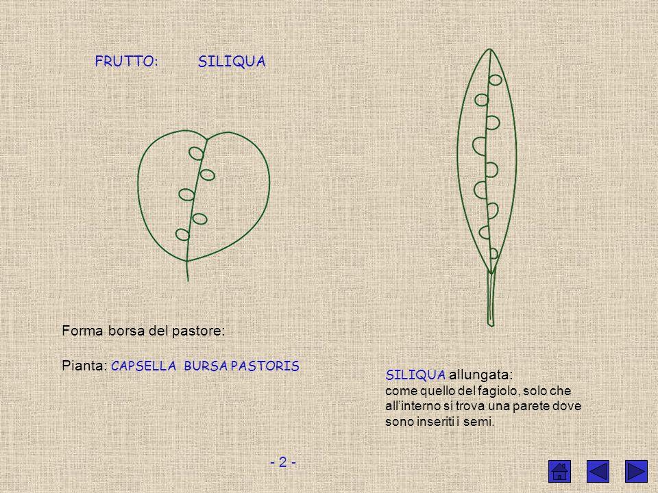 Forma borsa del pastore: Pianta: CAPSELLA BURSA PASTORIS