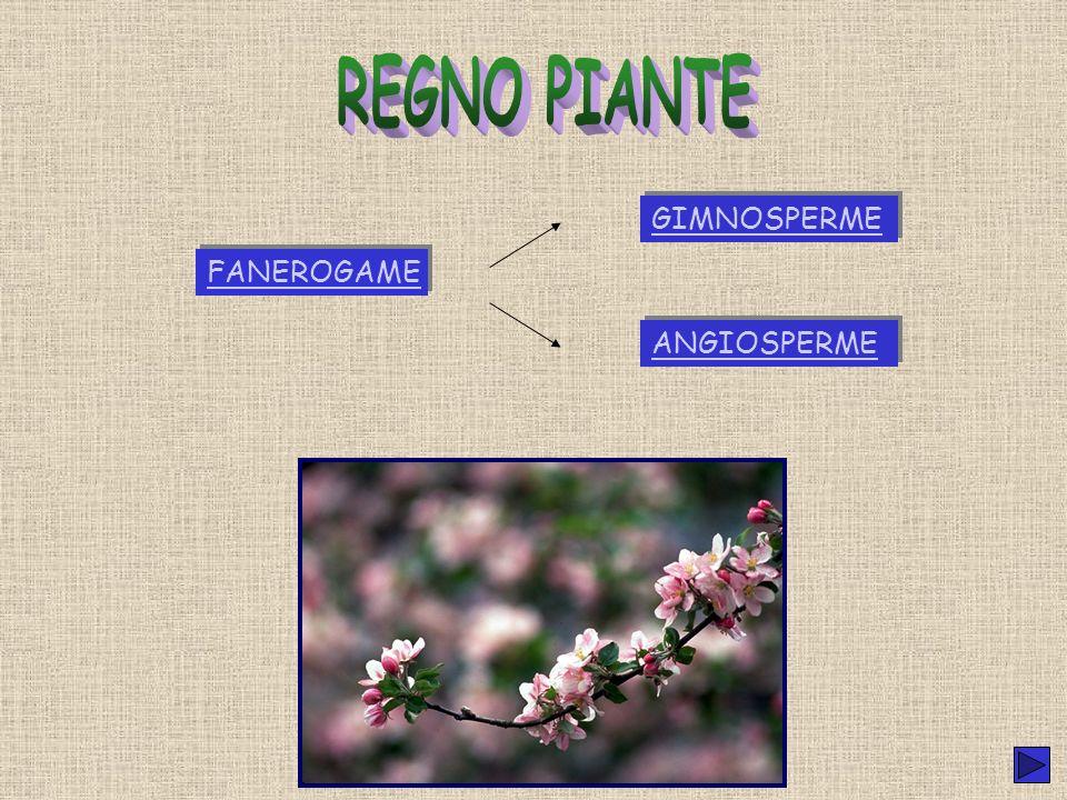 REGNO PIANTE GIMNOSPERME FANEROGAME ANGIOSPERME