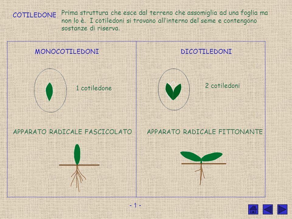 Prima struttura che esce dal terreno che assomiglia ad una foglia ma non lo è. I cotiledoni si trovano all'interno del seme e contengono sostanze di riserva.