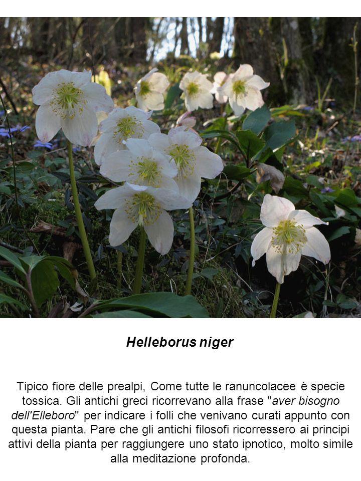 Helleborus niger Tipico fiore delle prealpi, Come tutte le ranuncolacee è specie tossica.