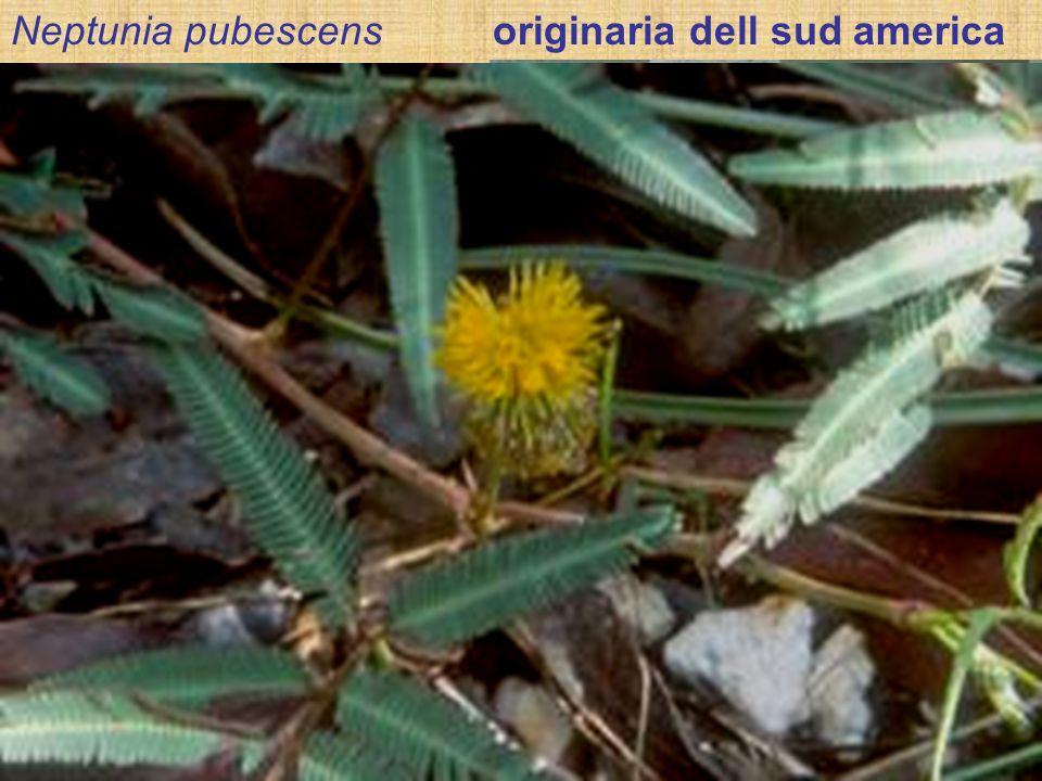 Neptunia pubescens originaria dell sud america Le ANGIOSPERME