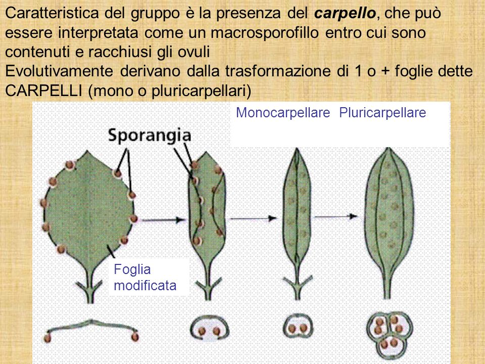 Caratteristica del gruppo è la presenza del carpello, che può essere interpretata come un macrosporofillo entro cui sono contenuti e racchiusi gli ovuli
