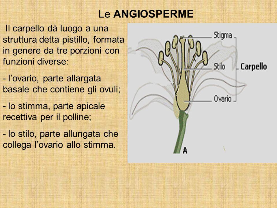 Le ANGIOSPERME Il carpello dà luogo a una struttura detta pistillo, formata in genere da tre porzioni con funzioni diverse: