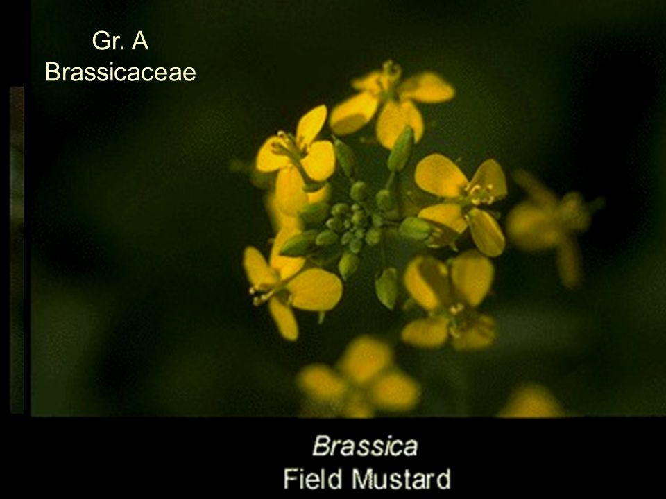 Gr. A Brassicaceae