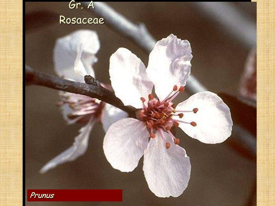 Gr. A Rosaceae Le ANGIOSPERME Prunus