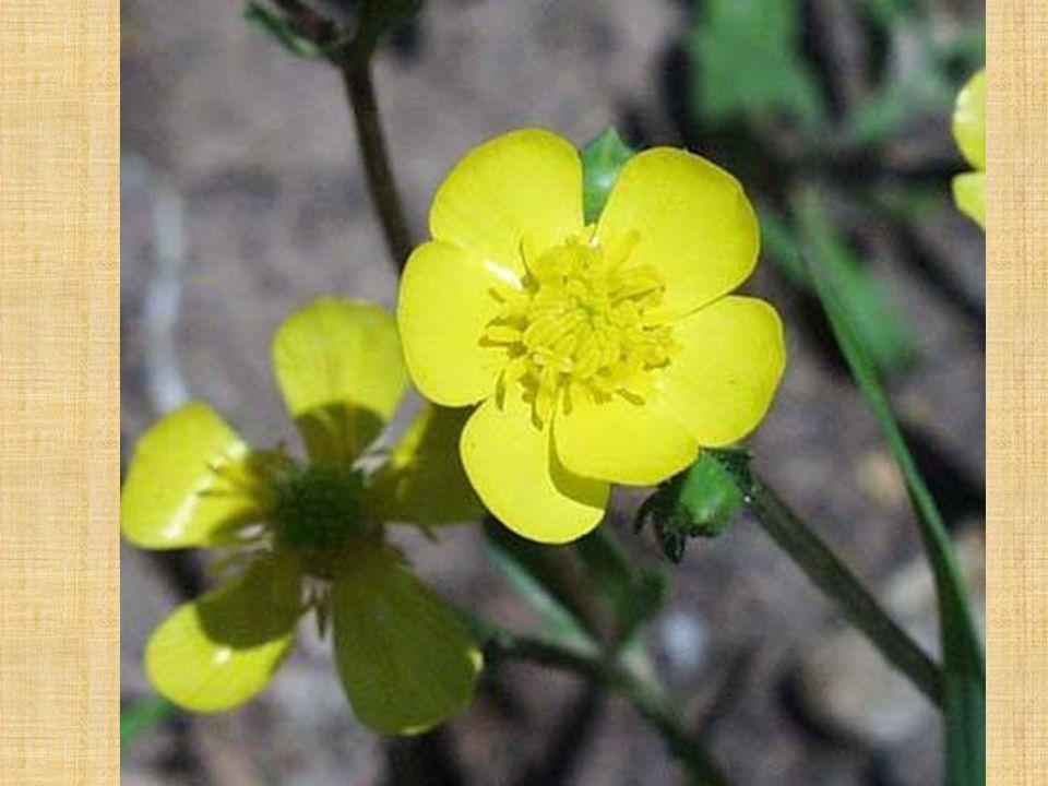 Le ANGIOSPERME Gr. A Ranunculaceae