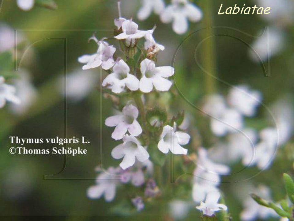 Labiatae Le ANGIOSPERME