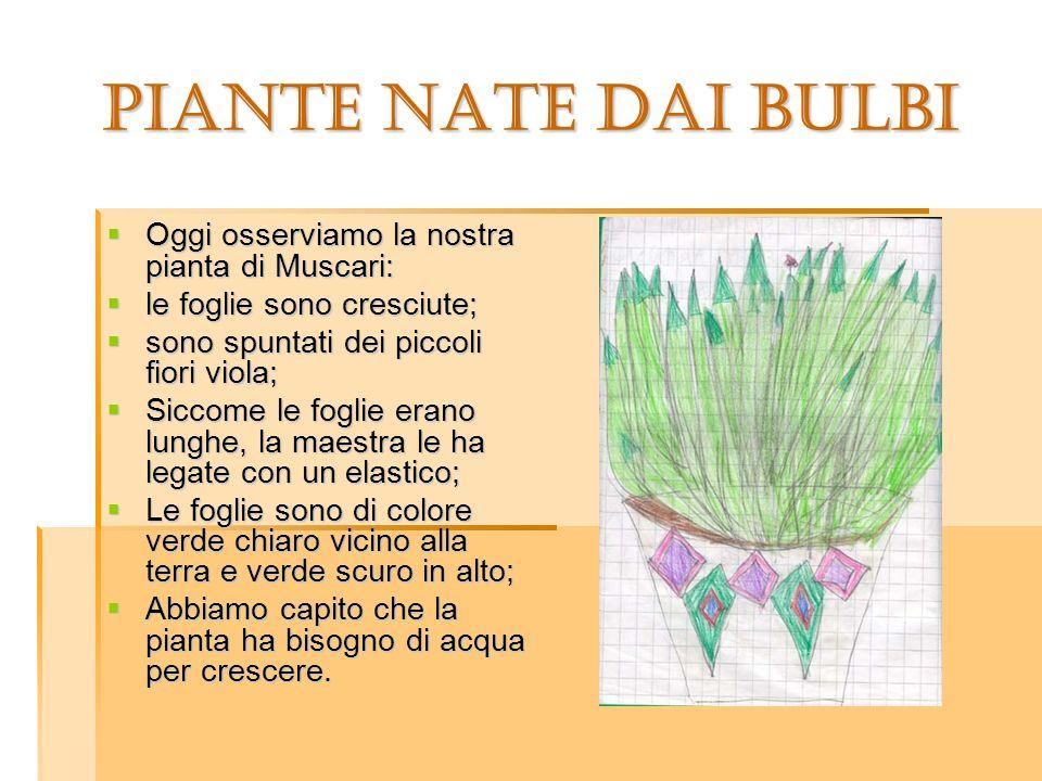 PIANTE NATE DAI BULBI Oggi osserviamo la nostra pianta di Muscari: