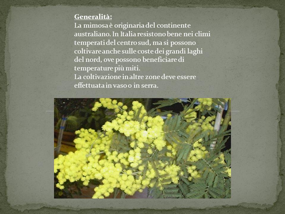 Generalità: La mimosa è originaria del continente australiano
