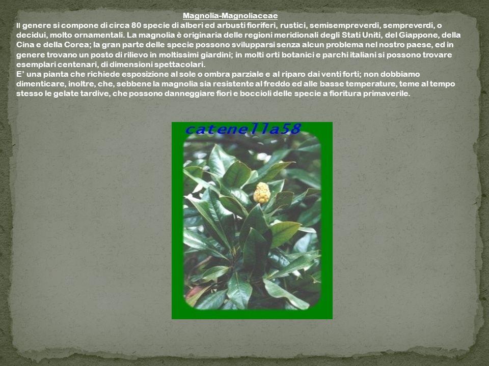 Magnolia-Magnoliaceae