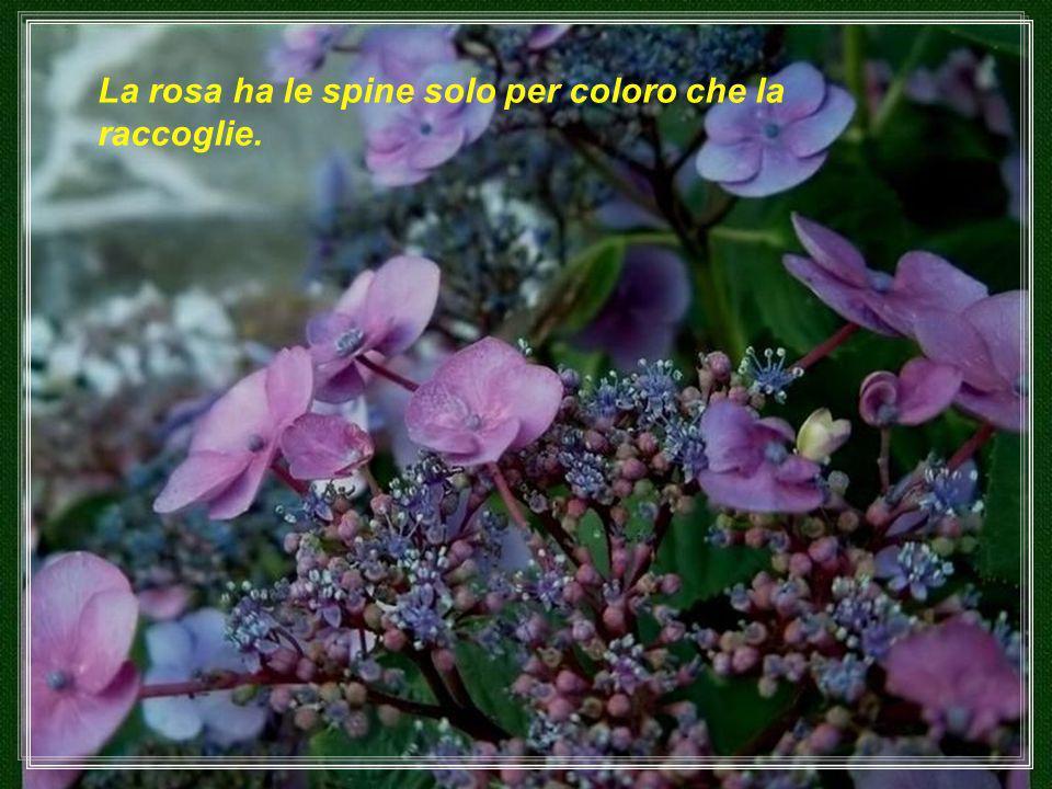 La rosa ha le spine solo per coloro che la raccoglie.