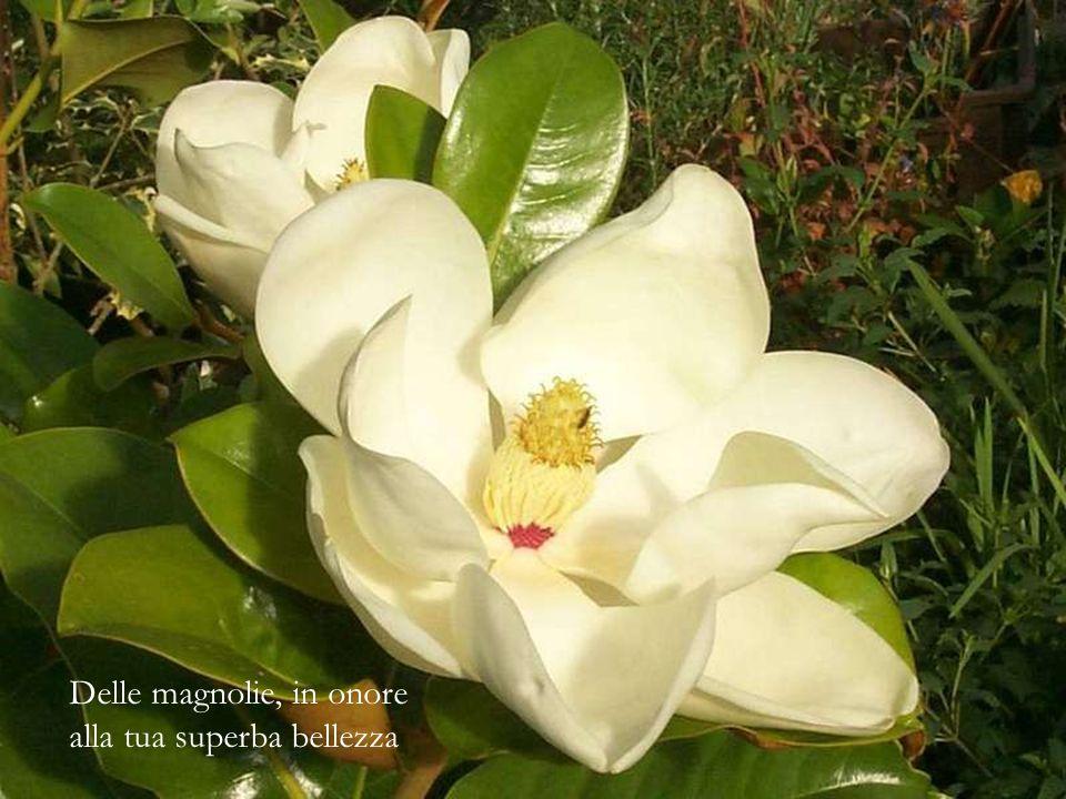 Delle magnolie, in onore alla tua superba bellezza