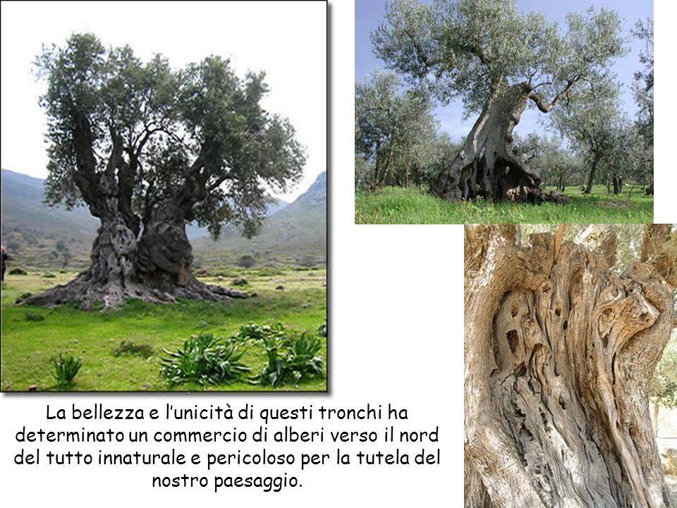 La bellezza e l'unicità di questi tronchi ha determinato un commercio di alberi verso il nord del tutto innaturale e pericoloso per la tutela del nostro paesaggio.