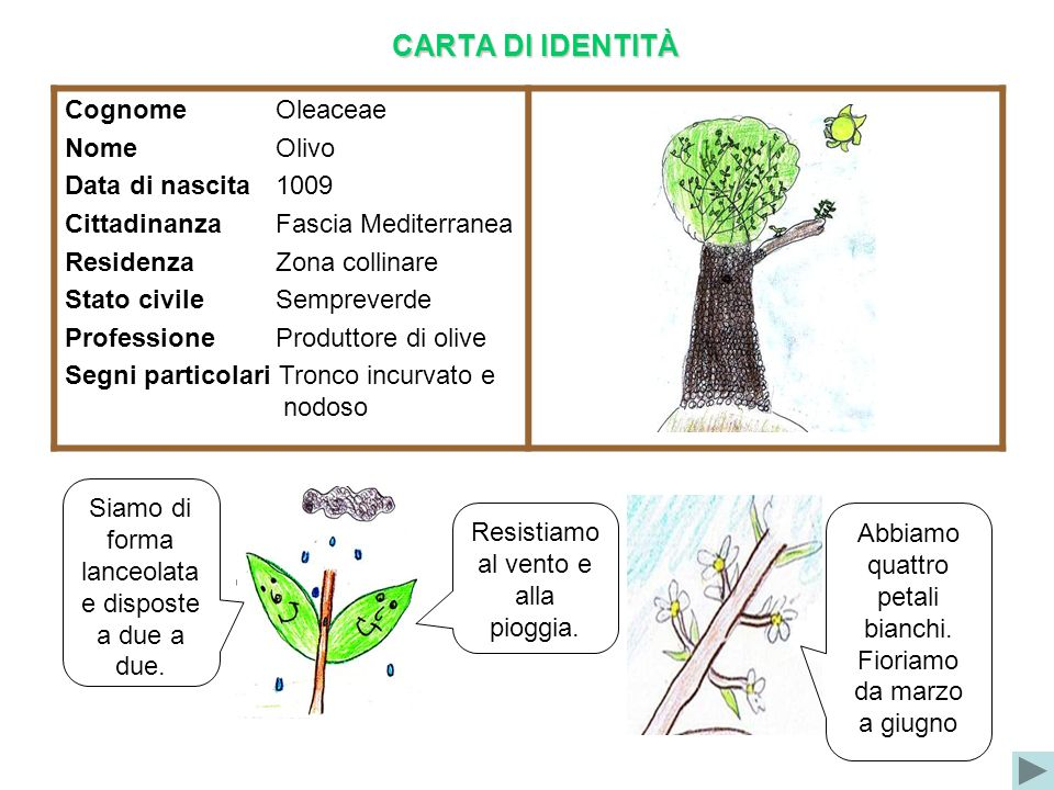 CARTA DI IDENTITÀ Cognome Oleaceae Nome Olivo Data di nascita 1009