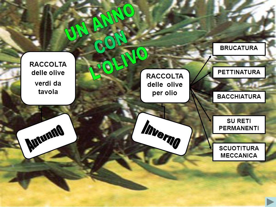 UN ANNO CON L OLIVO Inverno Autunno RACCOLTA delle olive