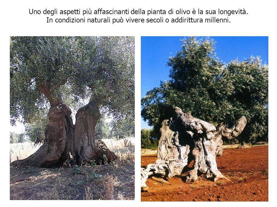 In condizioni naturali può vivere secoli o addirittura millenni.