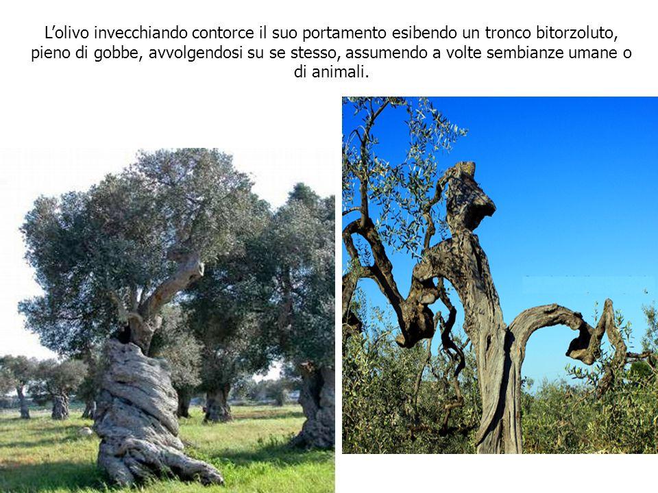 L'olivo invecchiando contorce il suo portamento esibendo un tronco bitorzoluto, pieno di gobbe, avvolgendosi su se stesso, assumendo a volte sembianze umane o di animali.