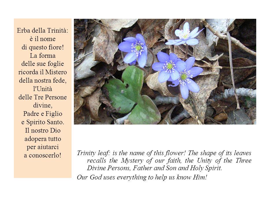 Erba della Trinità: è il nome di questo fiore
