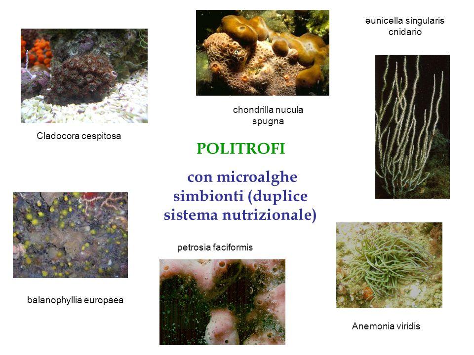 con microalghe simbionti (duplice sistema nutrizionale)