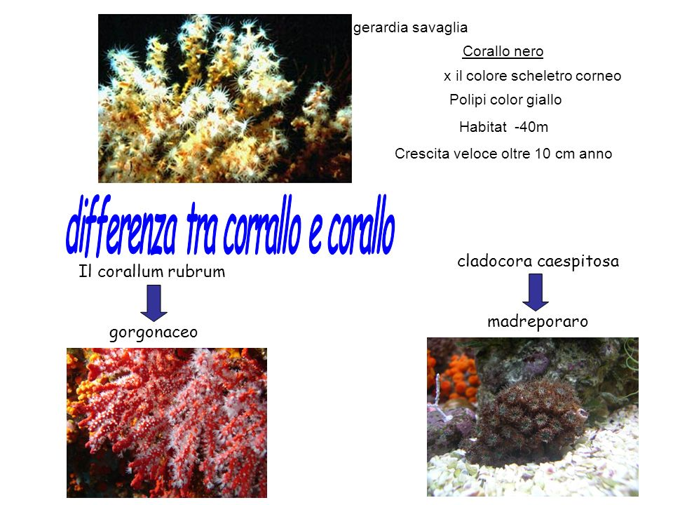 differenza tra corrallo e corallo