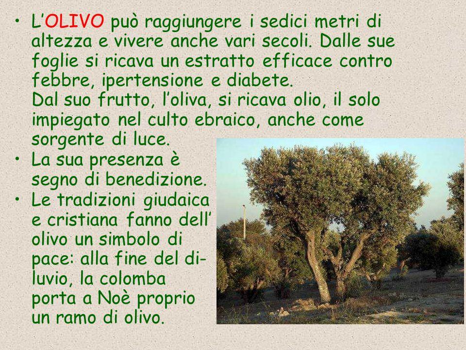 L'OLIVO può raggiungere i sedici metri di altezza e vivere anche vari secoli. Dalle sue foglie si ricava un estratto efficace contro febbre, ipertensione e diabete. Dal suo frutto, l'oliva, si ricava olio, il solo impiegato nel culto ebraico, anche come sorgente di luce.