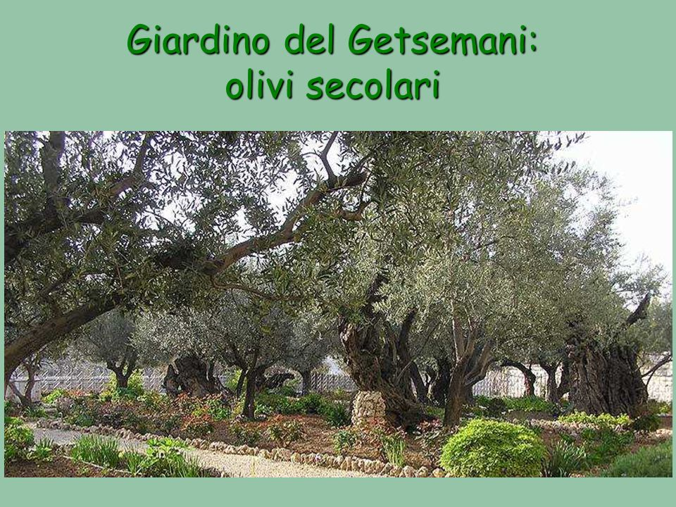 Giardino del Getsemani: olivi secolari