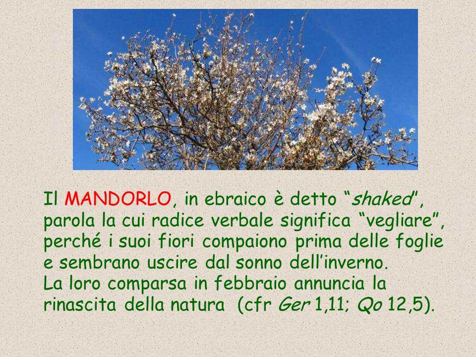 Il MANDORLO, in ebraico è detto shaked , parola la cui radice verbale significa vegliare , perché i suoi fiori compaiono prima delle foglie e sembrano uscire dal sonno dell'inverno.