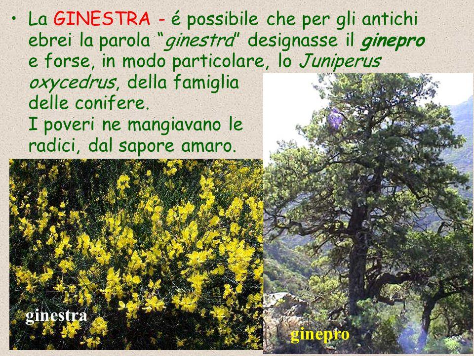 La GINESTRA - é possibile che per gli antichi ebrei la parola ginestra designasse il ginepro e forse, in modo particolare, lo Juniperus oxycedrus, della famiglia delle conifere. I poveri ne mangiavano le radici, dal sapore amaro.