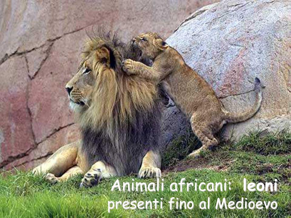 Animali africani: leoni presenti fino al Medioevo