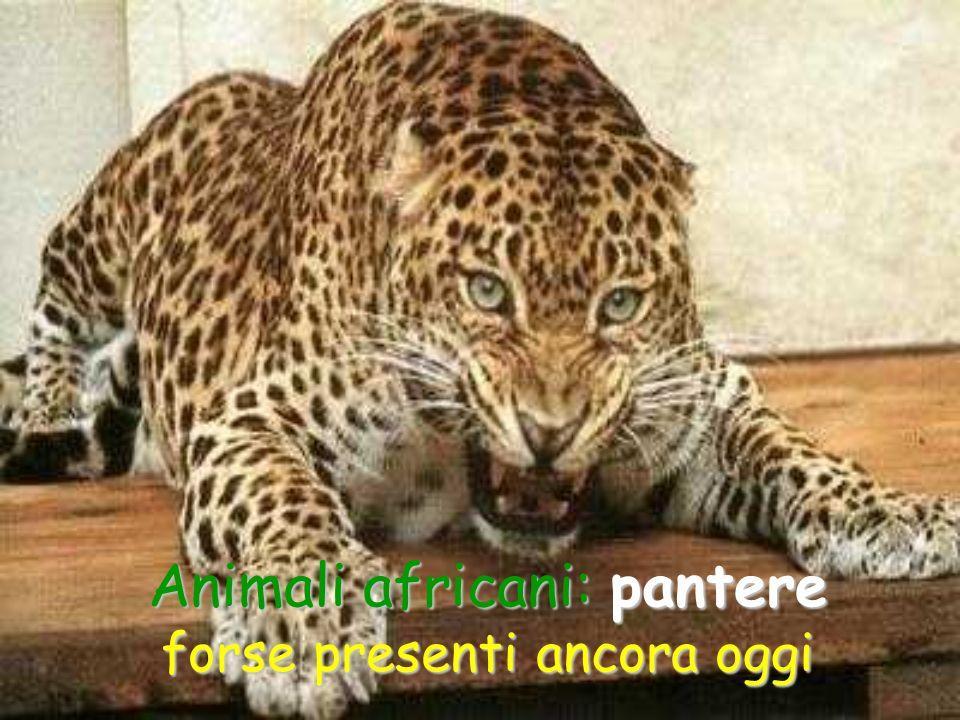 Animali africani: pantere forse presenti ancora oggi