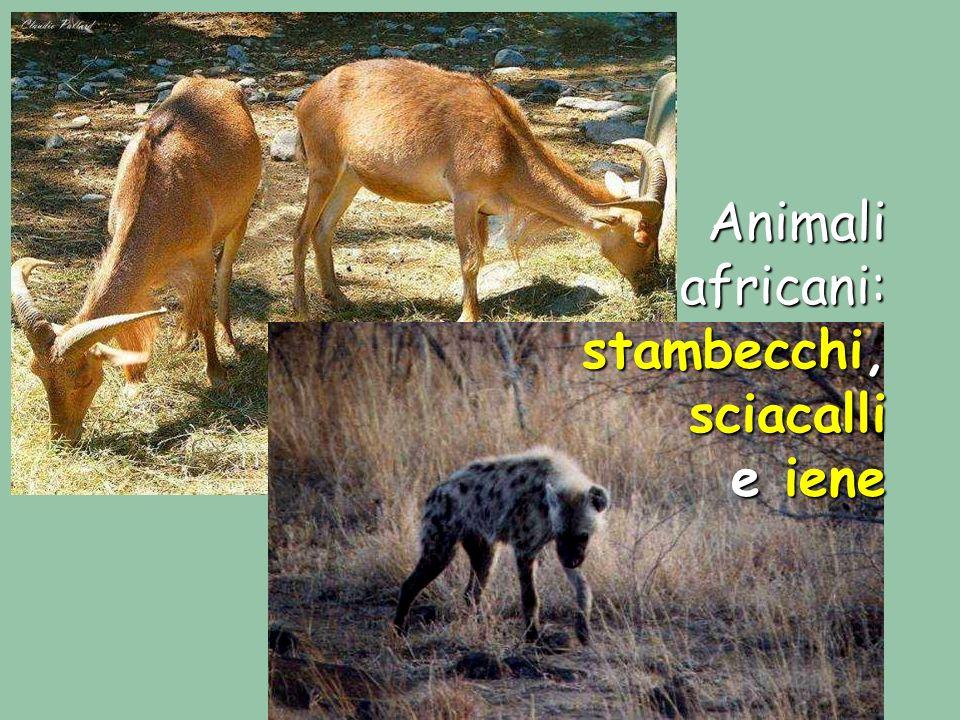 Animali africani: stambecchi, sciacalli e iene