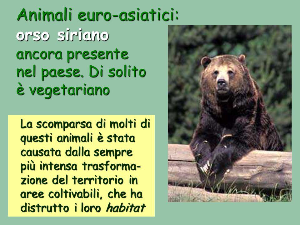 Animali euro-asiatici: orso siriano ancora presente nel paese