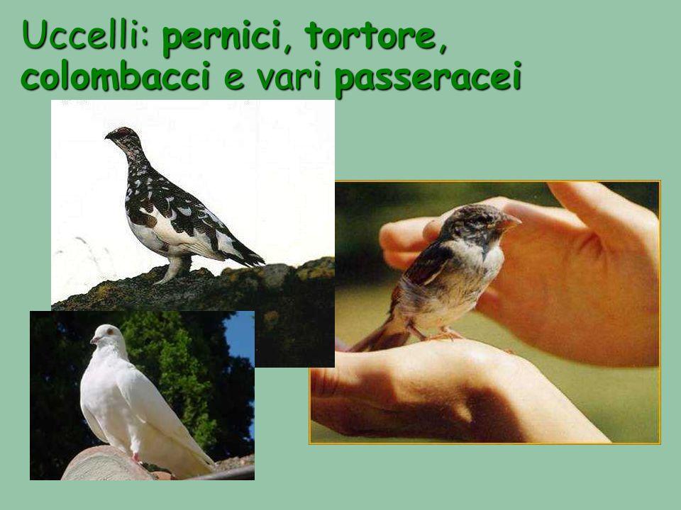 Uccelli: pernici, tortore, colombacci e vari passeracei