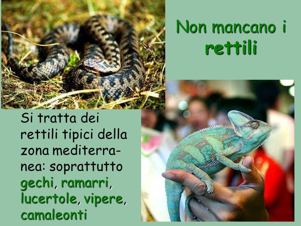 Non mancano i rettili Si tratta dei rettili tipici della zona mediterra-nea: soprattutto gechi, ramarri, lucertole, vipere, camaleonti.