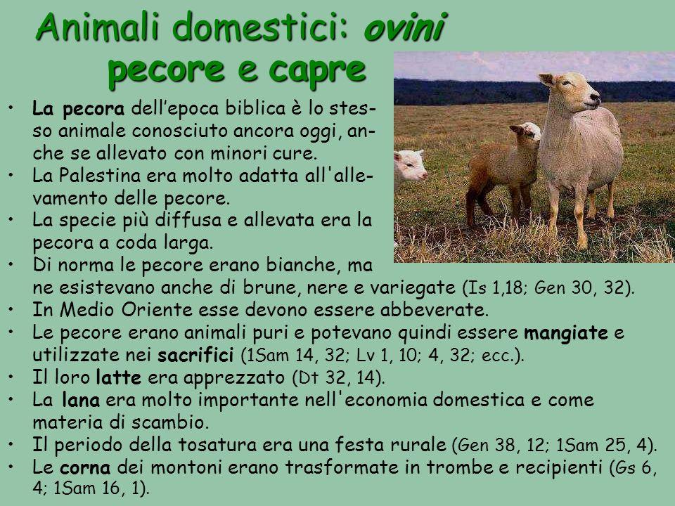 Animali domestici: ovini pecore e capre