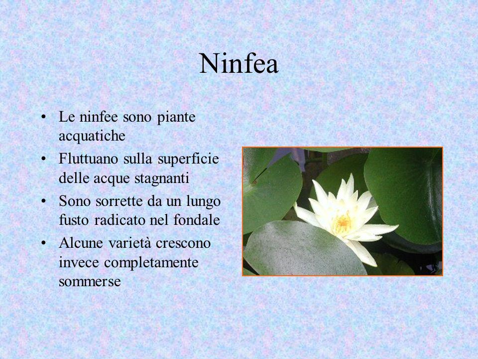 Ninfea Le ninfee sono piante acquatiche