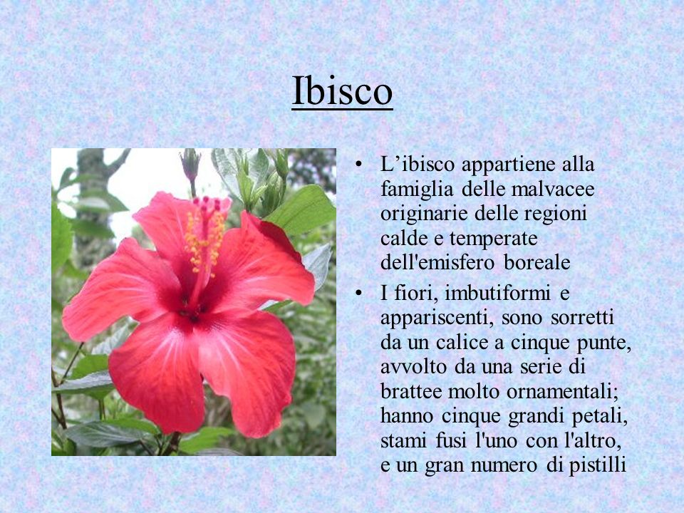 Ibisco L'ibisco appartiene alla famiglia delle malvacee originarie delle regioni calde e temperate dell emisfero boreale.