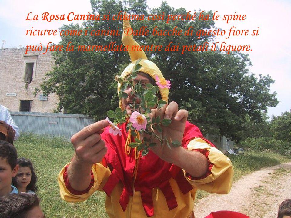 La Rosa Canina si chiama così perché ha le spine ricurve come i canini