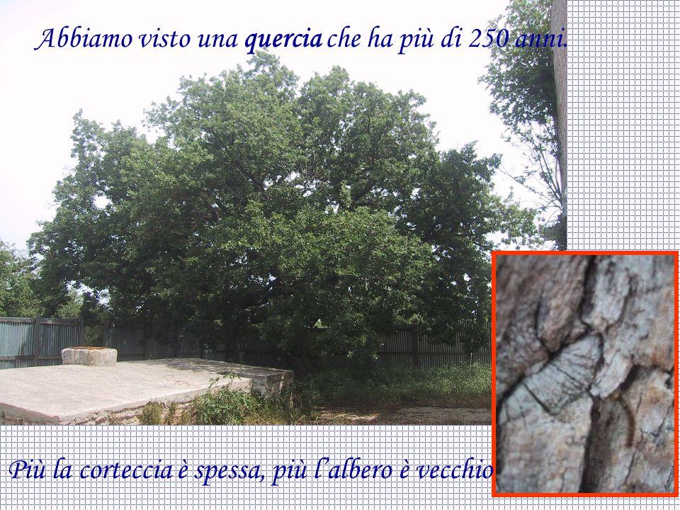 Abbiamo visto una quercia che ha più di 250 anni.