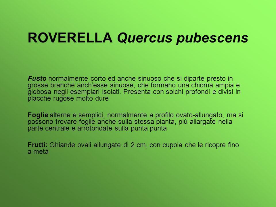 ROVERELLA Quercus pubescens