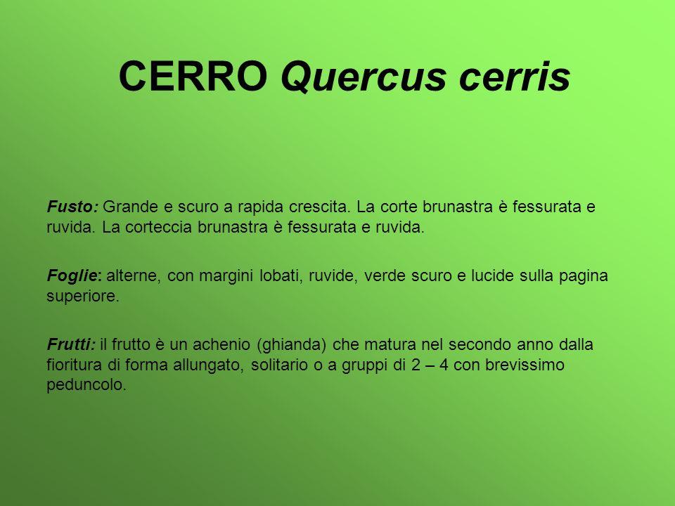 CERRO Quercus cerris Fusto: Grande e scuro a rapida crescita. La corte brunastra è fessurata e ruvida. La corteccia brunastra è fessurata e ruvida.