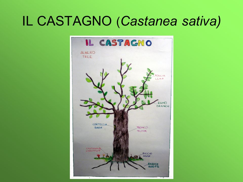 IL CASTAGNO (Castanea sativa)