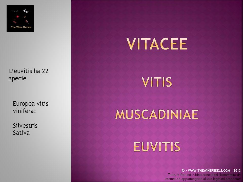 VITACEE VITIS MUSCaDINIAE EUVITIS L'euvitis ha 22 specie