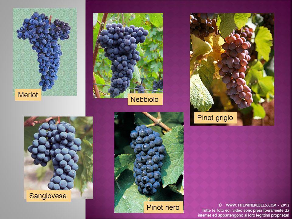 Merlot Nebbiolo Pinot grigio Sangiovese Pinot nero