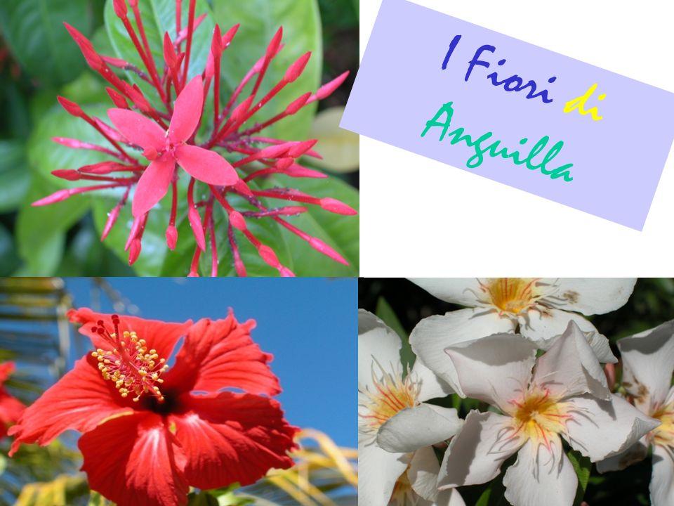 I Fiori di Anguilla