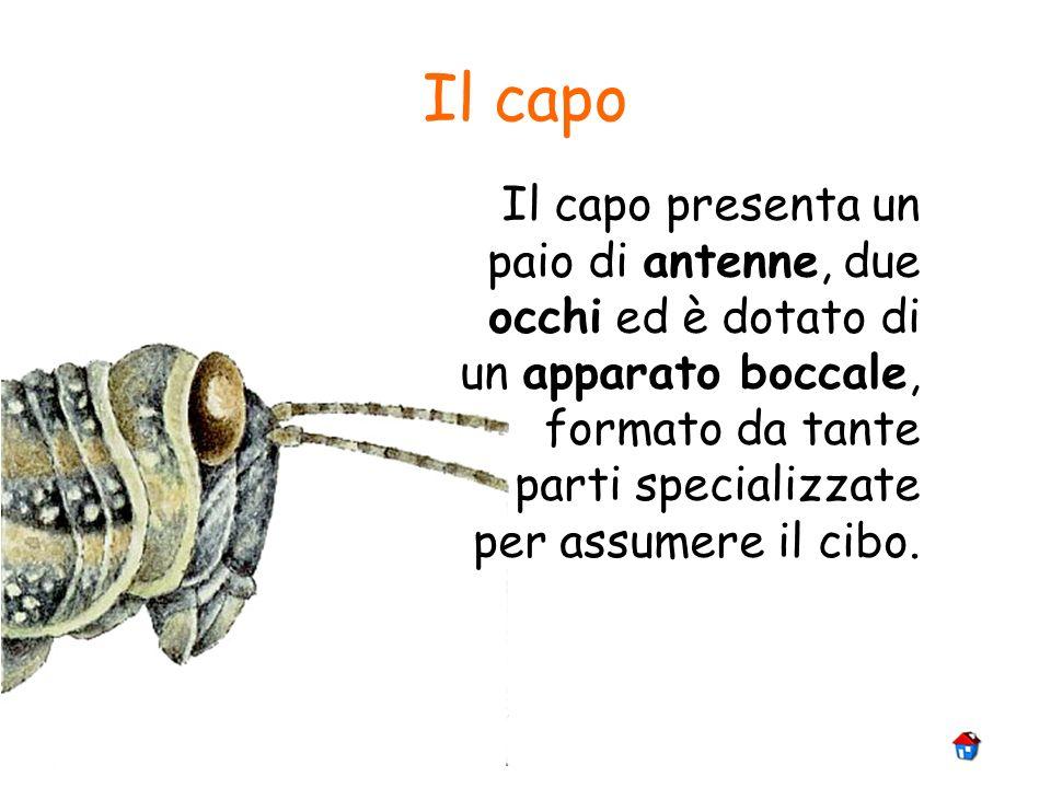 Il capoIl capo presenta un paio di antenne, due occhi ed è dotato di un apparato boccale, formato da tante parti specializzate per assumere il cibo.