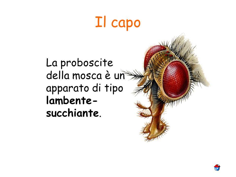 Il capo La proboscite della mosca è un apparato di tipo lambente-succhiante.